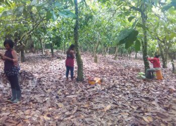 children helping on cocoa farms