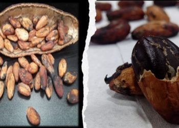 Cocoa farmers income, ghanatalksbusiness.com
